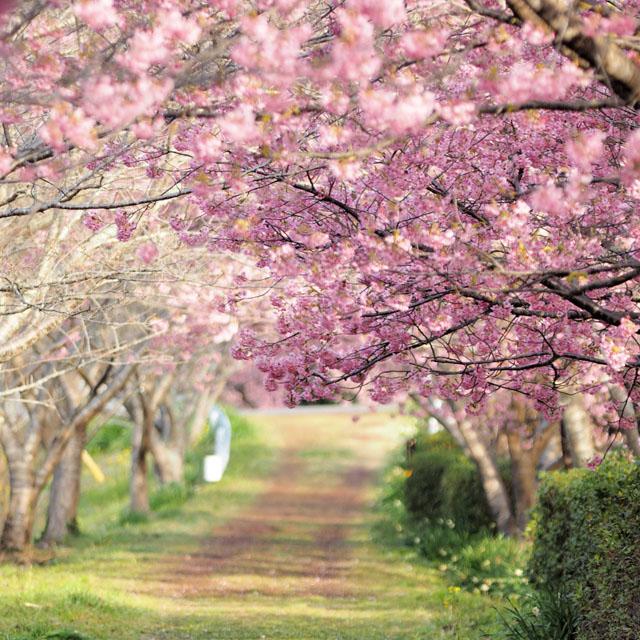 『河津桜まつり』が始まりました!